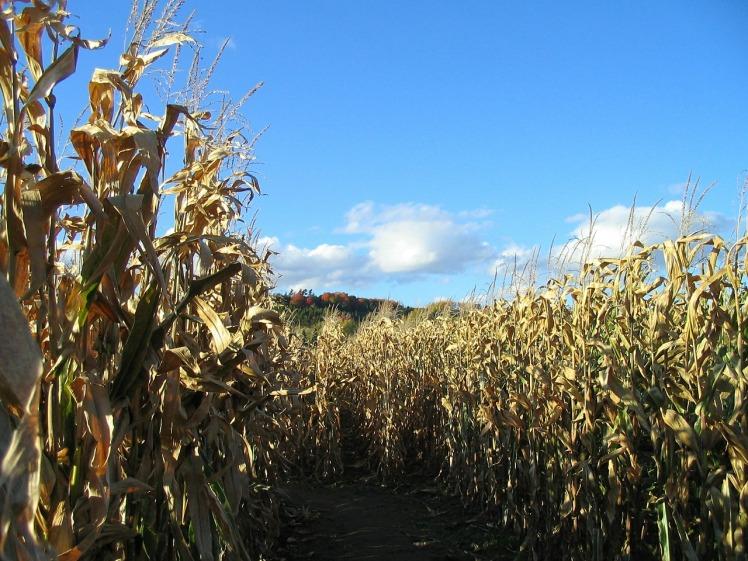 corn-418095_1280
